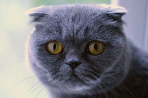 448px-Scottish_Fold_cat_(blue)